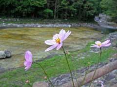 川っぺりにコスモス咲いてた