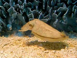 「コブシメ」って名前も美味そうで好きだが、さえ食えって刺身にされても情が移って食えそうにない