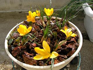 今年は好きな黄色の花の球根で揃えられたのでちょっと嬉しい