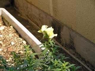 キンギョソウは連発式に咲くので当面楽しませてくれそう